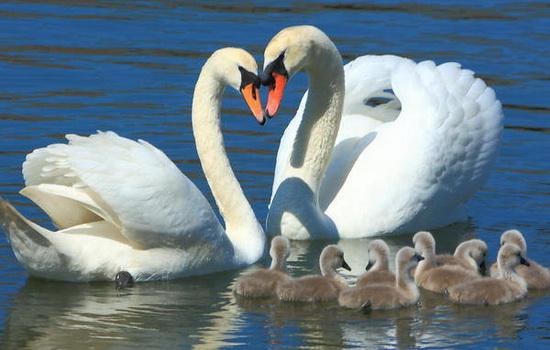 Лебеди образуют пару на всю жизнь