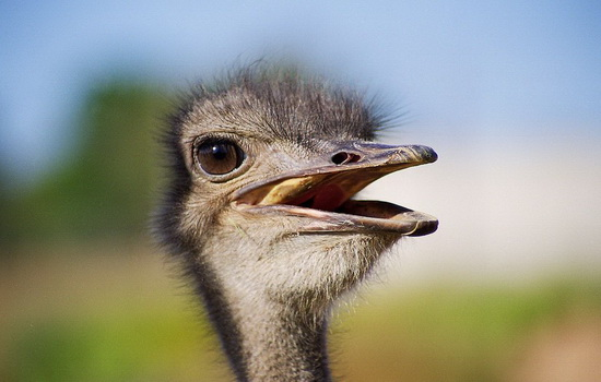 Почему страус не умеет летать ?