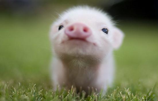 Интересные факты про Свиней (Pig)