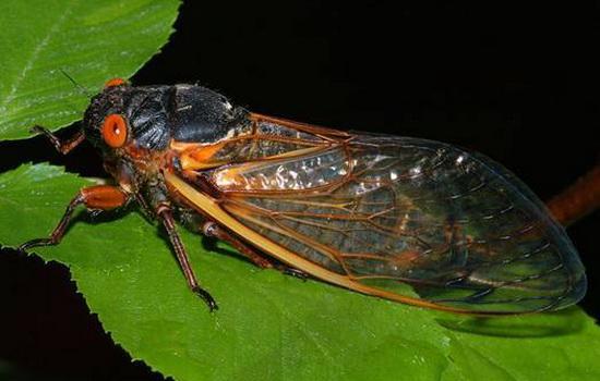 Интересные факты о Цикадах (Cicada)