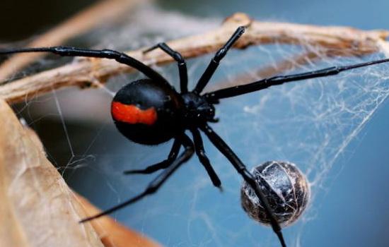 Только самки паука пожирают самцов