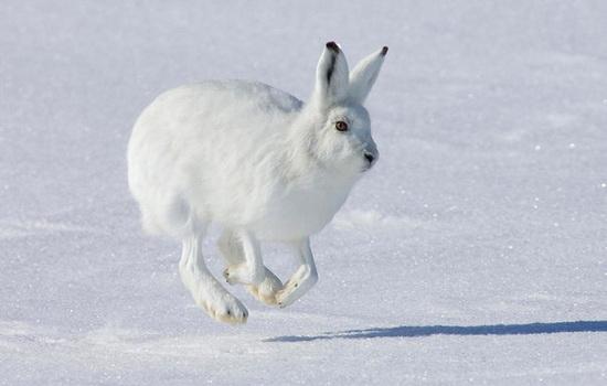 Уши нужны зайцу, чтобы хорошо слышать