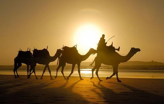 Верблюд бедуина
