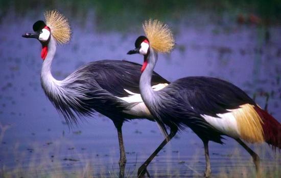 Интересные факты про Журавля (Crane)