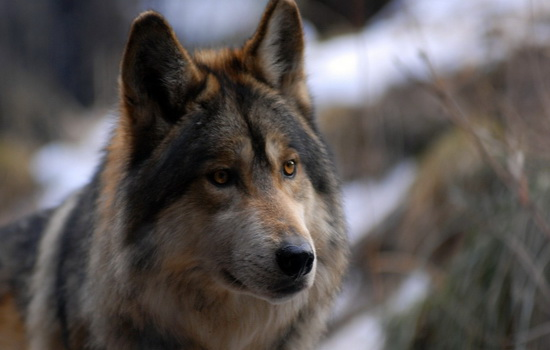 Заблуждения о волках