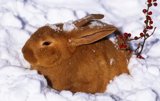 Заяц — трусливое животное